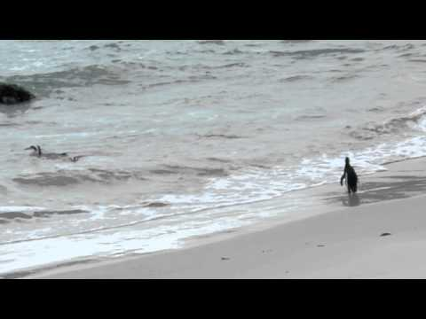 Marcha dos Pinguins – South Africa