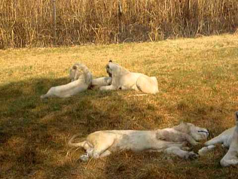 3 para bijelih lavova