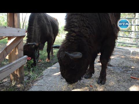 BTA:Европейски бизони са най-новите обитатели на зоопарка в Добрич