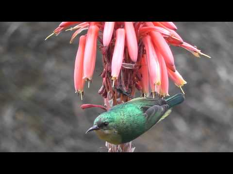 Sunbird feeding at Hluhluwe-Imfolozi Park, South Africa