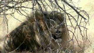 Lion Hunt with Lew Harris Safaris
