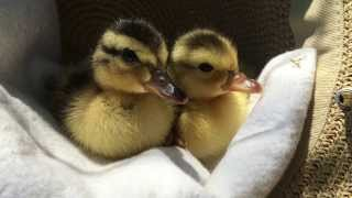 Tired ducklings fall asleep in a hat