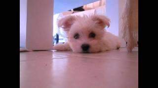 Coco, un bichón maltés que busca novia!