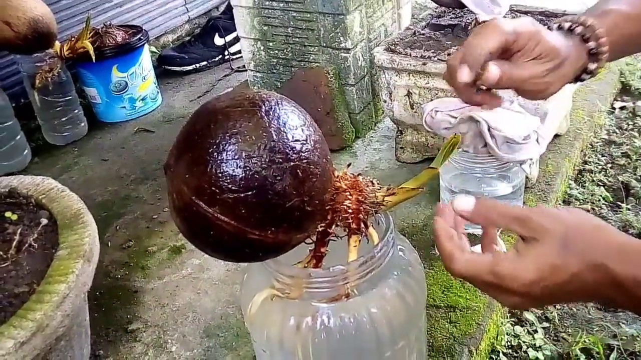 Download Perawatan Dini Bonsai Kelapa Media Air Youtube Youtube