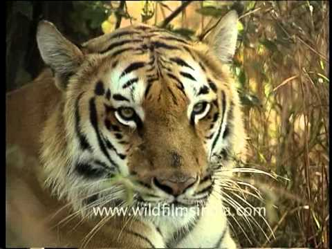 Lord of the jungle: Tiger in India's forest