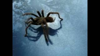 tarantula does the tarantella