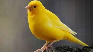 Pasarea Colibri- Canarul