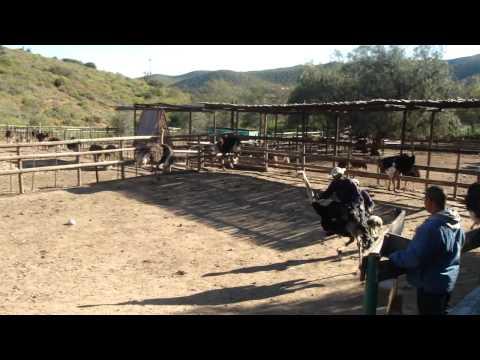Ostrich Riding !