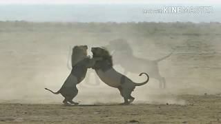 Epic 2 Male lions fighting to death (Aug 2017)