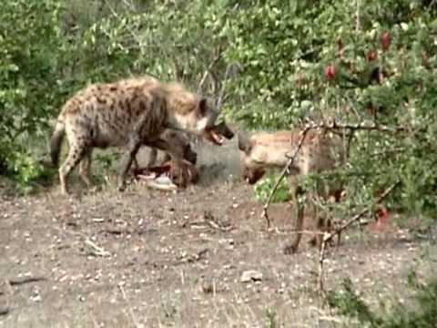 Repas de Hyènes au Parc Krüger en Afrique du Sud