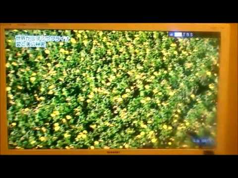 Японская передача об Украине (Ukraine on Japanese TV) ひまわり畑