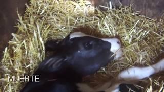 Desgarradoras imágenes muestran cómo los terneros son arrebatados de su madre