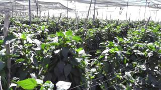 Live From the Fields: Video Sweet Mini Peppers, Sinaloa, Mexico
