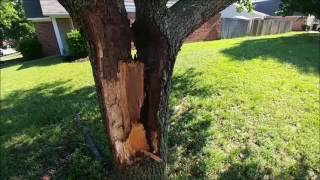 bradford pear tree splitting