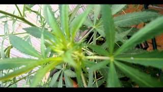 Cannabis sativa 2013 cosecha seguimiento acelerado