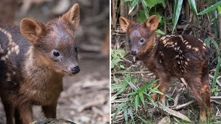 Meet the World's Smallest Deer That Was Just Born