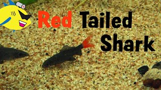 Fish Profile: Red-Tailed Shark