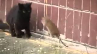 Gato x Rato