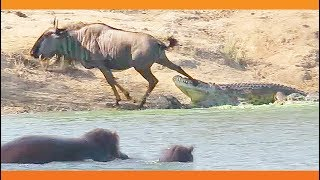 hippo interferes the battle between Croc and Beast