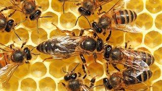 Une abeille tue sa sœur et s'empare du trône - ZAPPING SAUVAGE width=