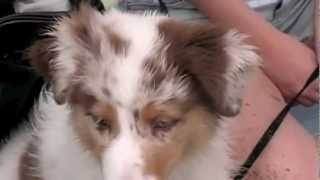 Sydney The Australian Shepherd: A Dog's Tail