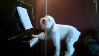 Ladies And Gentleman! I Present A Dog That Is Singing And Playing Piano