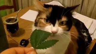 Cannabis CAT FULL PARODY VIDEO