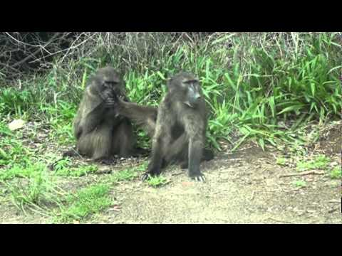 South Africa – Part 22 – Natures Valley – Baboons
