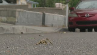 Dozens of crawdads mysteriously show up in Albuquerque neighborhood