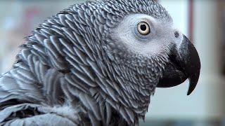 Einstein vs Griffin - The World's Smartest Parrots - Extraordinary Animals - Earth
