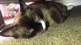 Siamese Cat Falling Asleep