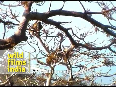 Leopards fight on a tree in Panna!