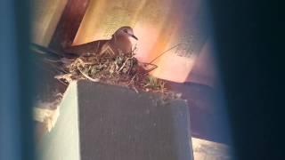 Juriti pupu canto no ninho