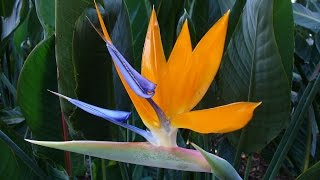 Amazing and Most Beautiful Birds of Paradise flowers Pictures