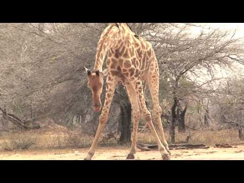 How Does A Giraffe Drink?