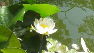 White Lotus Flower - Bodhi Awakening