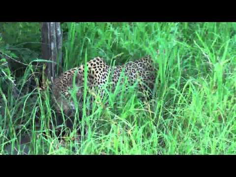 Leopard & his kill a warthog at Sabi Sabi