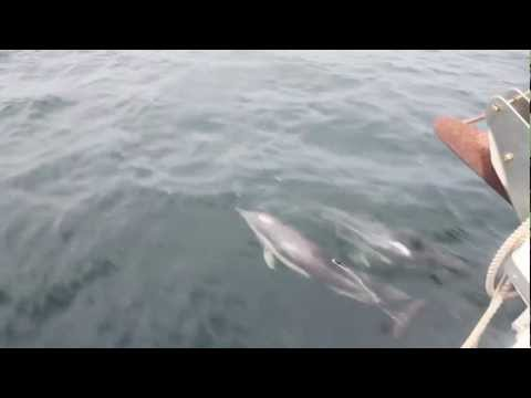 Dolphins in the Strait of Gibraltar