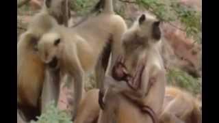 Macacos lutando para acasalar, reino animal, vida selvagem