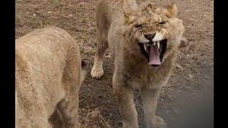 一群少年獅子們 a group of young lions