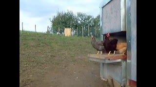 Naše kokoši