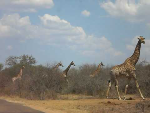 Girafas – Krueger National Park, África do Sul '09