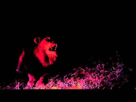 Male Lion Calling on Safari