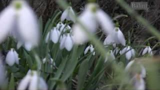 A hóvirág a tél végének szimbóluma