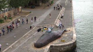 Une baleine échouée en plein Paris I AFP News