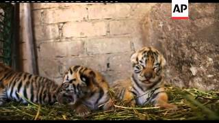 Female Bengal tiger and a Siberian tiger give birth to 3 cubs in the Oaxaca Zoo