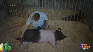 Show Pig: How to clip the body of your pig