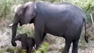 Moeder olifant schopt baby olifant tot leven