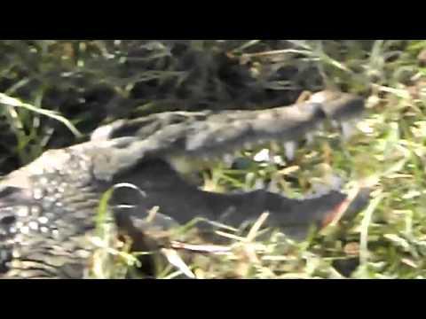 Coccodrillo Botswana Africa