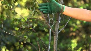 TreePeople - How to Prune a Tree